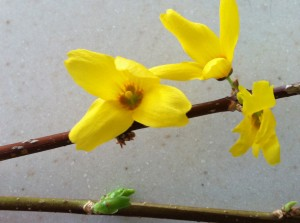 Forced Forsythia blossoms