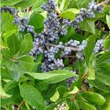 northern bayberry bush with berries